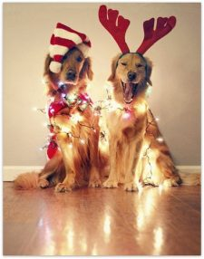 golden-retrievers-cute-holiday-christmas-picture-2012